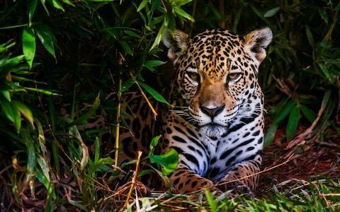 Conservationists fear the railway could impact wildlife, such as jaguars - Credit: ISTOCK