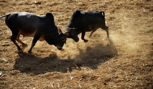Thousands cheer on Nepal bullfighting spectacle