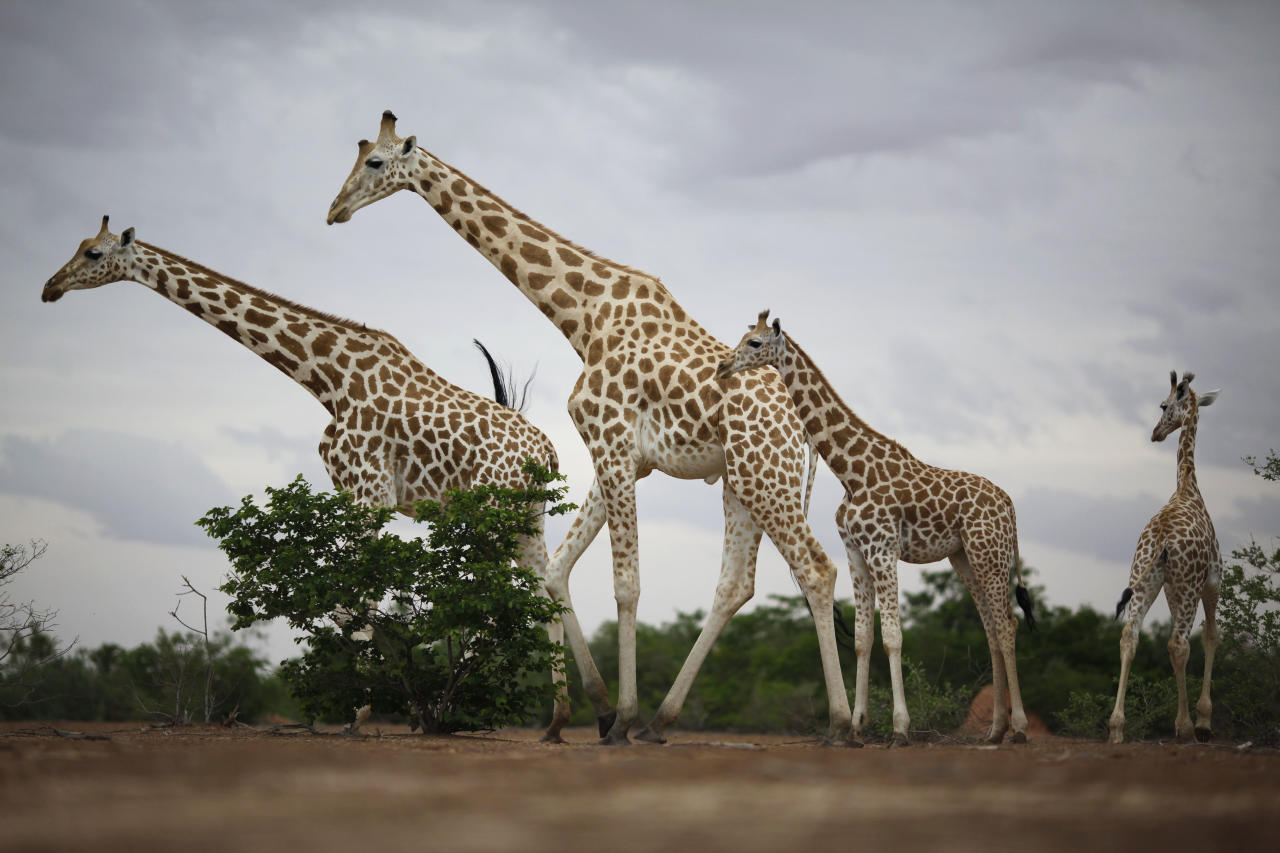 In this Aug. 2, 2009 photo, a group of giraffes from Africa's most endangered giraffe subspecies walk through scrub brush near Koure, Niger. By all accounts, they should be extinct. Instead, their numbers have quadrupled to 200 since 1996, an unlikely boon experts credit to the concurrence of an impoverished government keen for revenue that has enacted laws to protected them, a conservation program that encourages people to support them, and a rare harmony with humans who have accepted their presence. (AP Photo/Rebecca Blackwell)