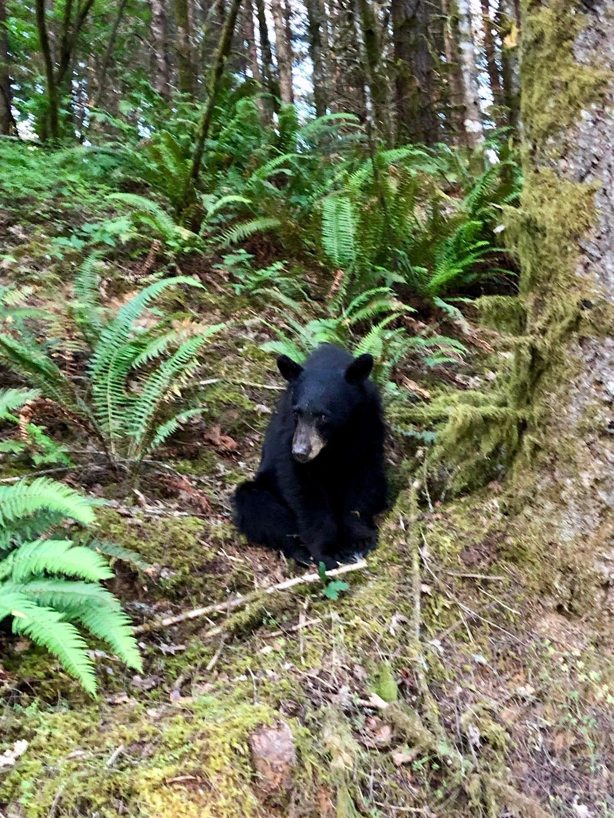 The black bear was used to human food and interaction.