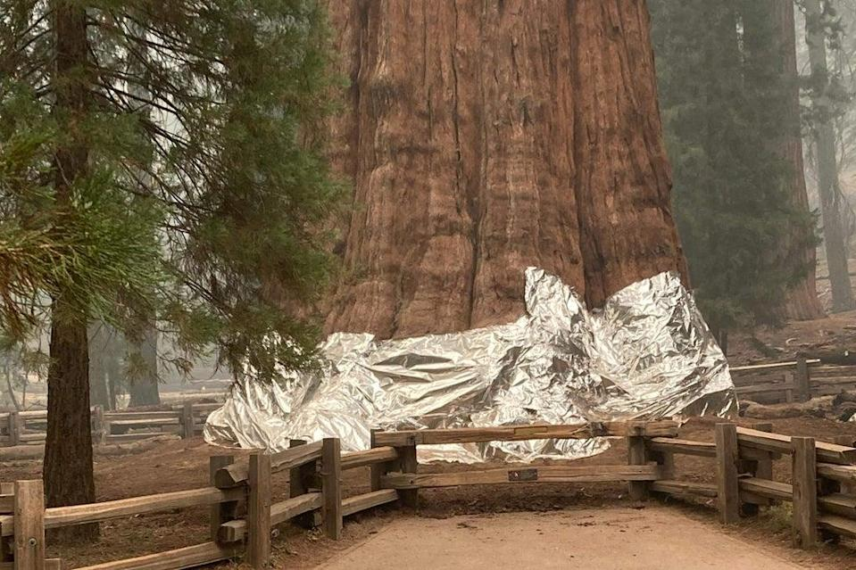 Firefighters wrap the world's oldest tree, named General Sherman, to protect it from fire. The tree is estimated to be around 2,300 to 2,700 years old (NATIONAL PARK SERVICE/AFP via Ge)