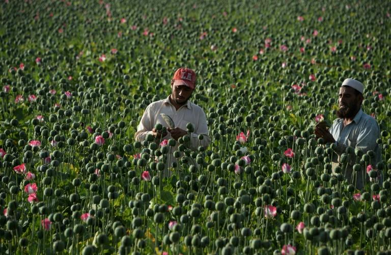 The Taliban profits from the illegal drug trade by taxing poppy farmers and traffickers across the war-torn country
