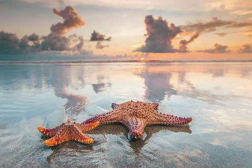 """<span class=""""caption"""">Were starfish really the oldest relatives of vertebrates such as mammals?</span> <span class=""""attribution""""><a class=""""link rapid-noclick-resp"""" href=""""https://www.shutterstock.com/image-photo/two-starfish-on-sea-beach-sunset-524421913"""" rel=""""nofollow noopener"""" target=""""_blank"""" data-ylk=""""slk:Yellowj/Shutterstock"""">Yellowj/Shutterstock</a></span>"""