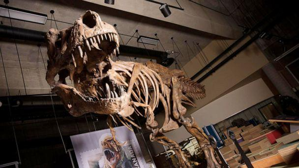 PHOTO:The towering and battle-scarred 'Scotty'reported by UAlberta paleontologists is the world's largest Tyrannosaurus rex and the largest dinosaur skeleton ever found in Canada. (Amanda Kelley/University of Alberta)