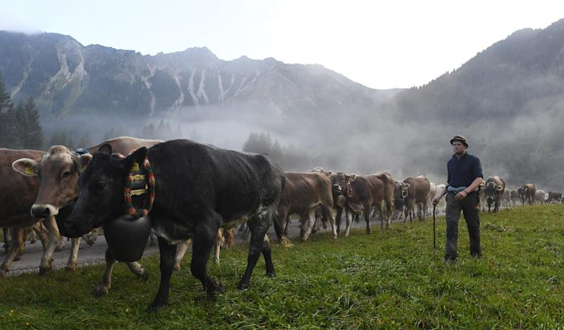 "Farmers drive cattle during the so-called Viehscheid cattle drive on September 11, 2019 near the village of Bad Hindelang, southern Germany. - During the traditional ""Almabtrieb"" event, cow herds are brought from alpine pastures, where they stay during the summer, to lower pastures in the valley. (Photo by Christof STACHE / AFP) (Photo credit should read CHRISTOF STACHE/AFP via Getty Images)"
