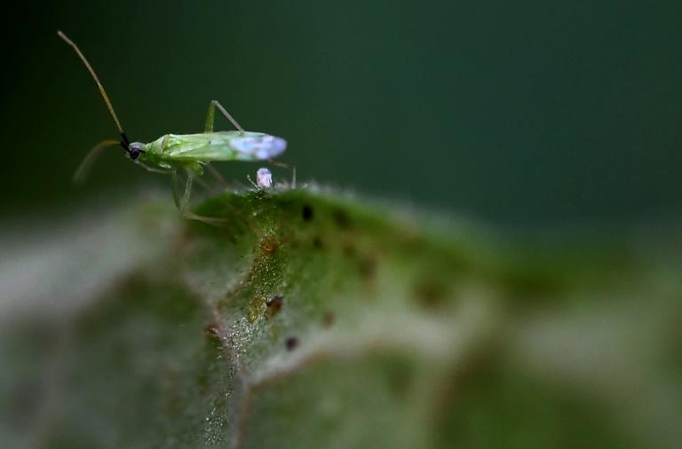 Millions of predatory macrolophus keep tomatoes free from pests -- and pesticides