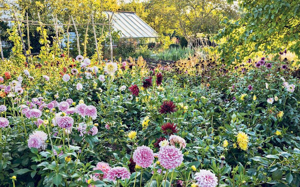 best dahlias for colour in your garden - Marianne Majerus