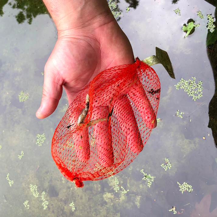 This plastic netting bag was fished out from a pond in Hyde Park with the remains of a smooth newt which had become tangled in the netting and died. (Royal Parks)