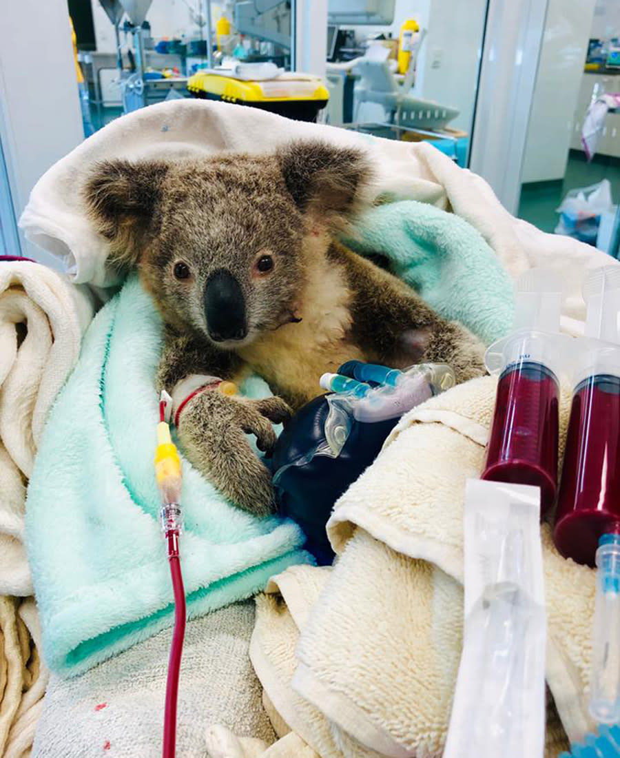 The koala needed a blood transfusion after being found with about 100 ticks covering its body. Source: Currumbin Wildlife Hospital Foundation/ Facebook