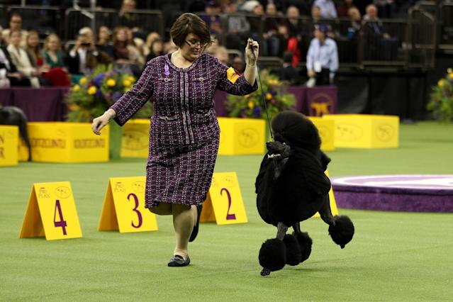Siba the Standard Poodle took home top honors at the Westminster Kennel Club Dog Show on Tuesday night. (Tayfun Coskun/Anadolu Agency/Getty Images)