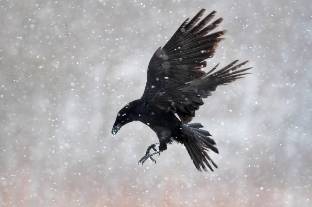 """It's probably best not to get on a crow's bad side. According to <a rel=""""nofollow"""" href=""""https://www.nytimes.com/2008/08/26/science/26crow.html"""">one study</a>—plus tons of anecdotal evidence from wildlife biologists—the highly intelligent birds are capable of remembering individual human faces, even if those who have wronged them <a rel=""""nofollow"""" href=""""https://www.nytimes.com/2008/08/26/science/26crow.html"""">wear a disguise</a>.  So how do crows show their distaste? They scream.""""The birds were really raucous, screaming persistently,""""said one volunteer in the crow study. """"And it was clear they weren't upset about something in general. They were upset with me.""""Sounds intense!"""