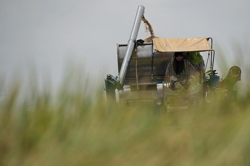 A Thai farmer harvests rice at a field in Nakhon Pathom province near Bangkok (AFP Photo/Christophe Archambault)
