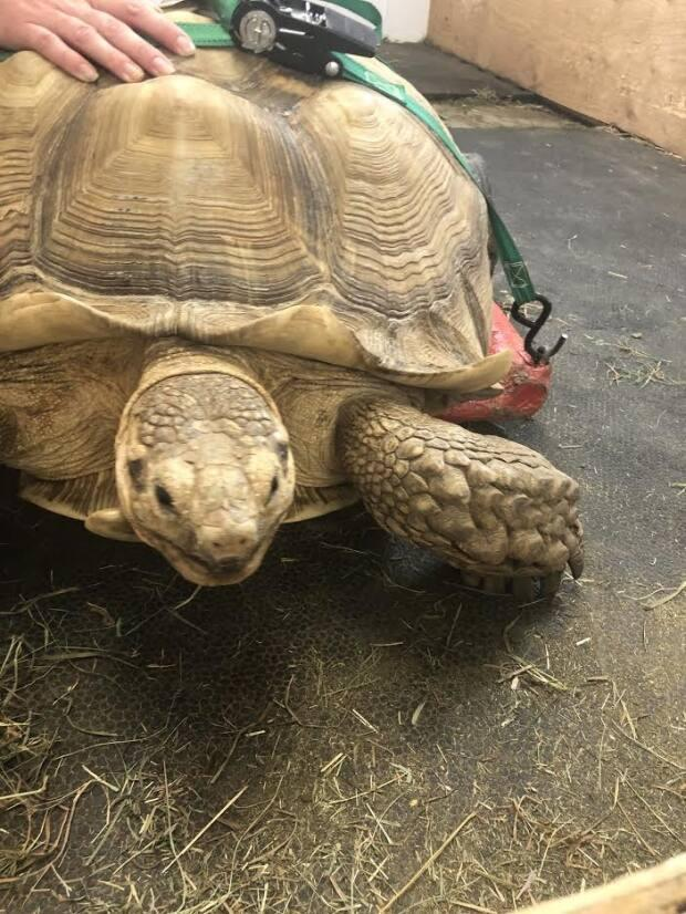 Sherman was having a hard time getting around so the Moncton zoo had to create a makeshift wheelchair, built by a local carpenter.