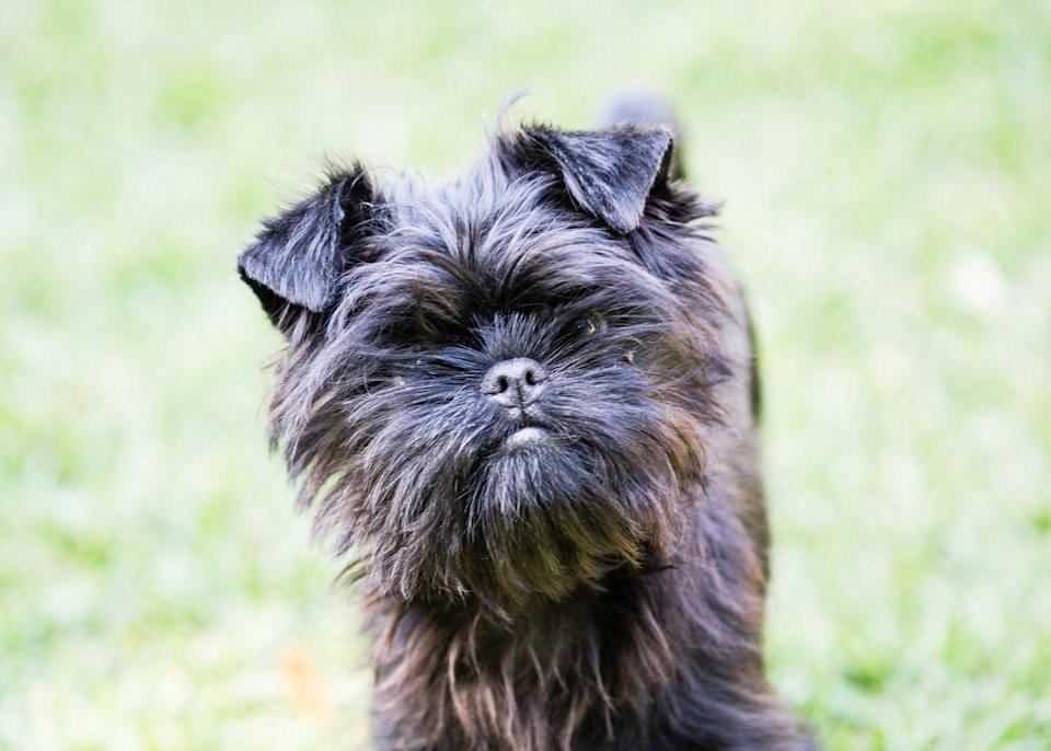 "<p>If you're looking for a pup who's a bit more low-key, an affenpinscher might be a good choice. ""A nice game of indoor fetch or scent work will leave them tired while you are off for the day with work and errands,"" Ellis says.</p>"