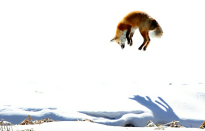 <p>This fox looks more than a little alarmed by the sight of snow. (Pic: Hilary-Dean Hughes/SWNS) </p>