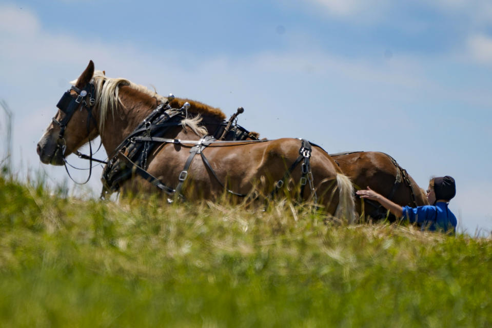 A woman in Amish country prepare a horse team to work on a farm in Pulaski, Pa., Wednesday, June 23, 2021. The vaccination drive is lagging far behind in many Amish communities across the U.S. following a wave of virus outbreaks that swept through their churches and homes during the past year. (AP Photo/Keith Srakocic)