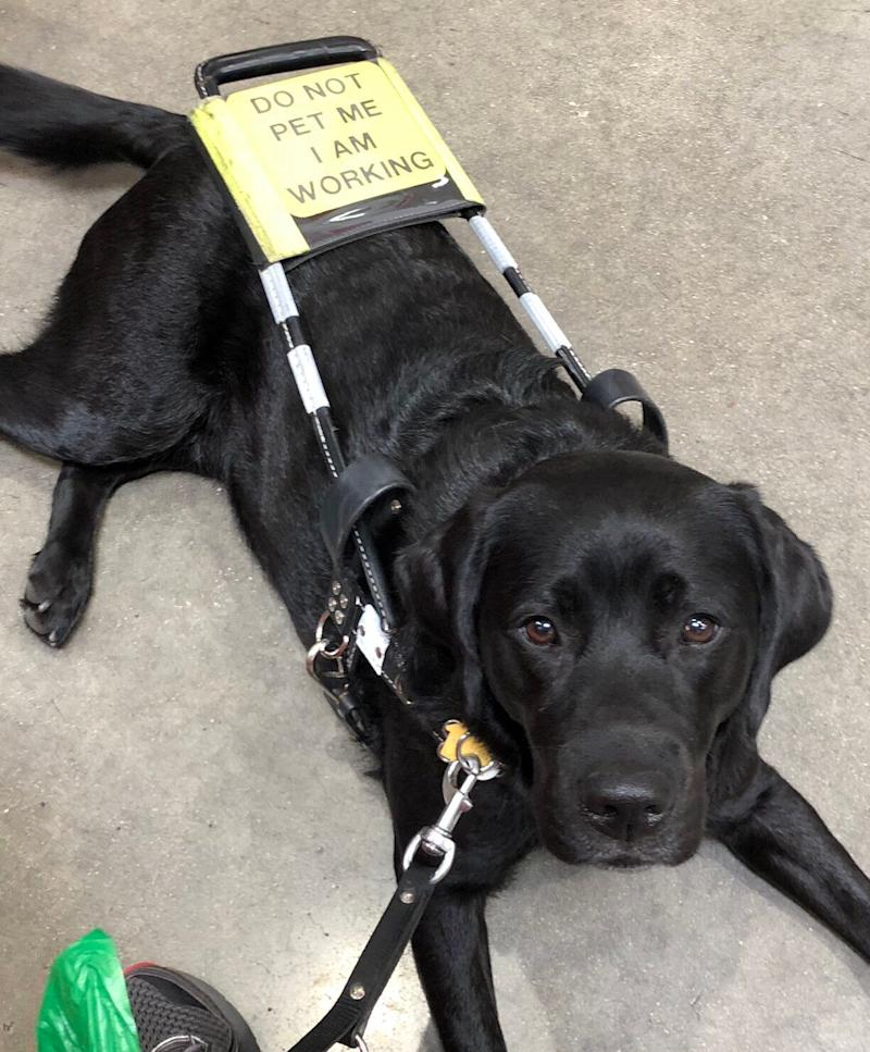 "Sara, a 3.5 year old black Labrador, poses with her harness that reads, ""Do not pet me I am working."" (Credit: Robbie Esper)"