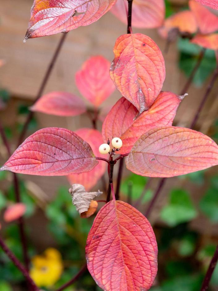 """<p>Dogwood is a medium-sized tree which maxes out at 25 feet tall and wide, but it's a slow grower. Because it doesn't get gigantic, it works well in most small gardens. It has lovely spring blooms, followed by interesting berries and striking red leaves in the fall. </p><p><a class=""""link rapid-noclick-resp"""" href=""""https://www.fast-growing-trees.com/products/kousa-dogwood"""" rel=""""nofollow noopener"""" target=""""_blank"""" data-ylk=""""slk:SHOP NOW"""">SHOP NOW</a></p>"""
