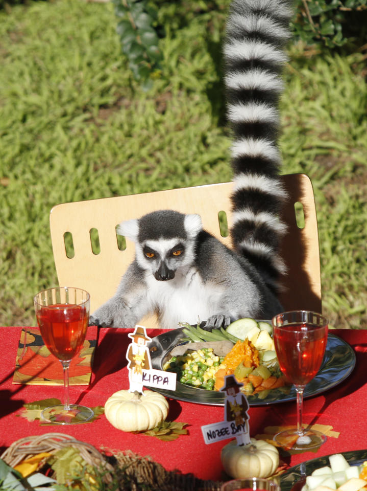 """In this photo provided by the San Francisco Zoo, a ring-tailed lemur sits at the table during its Thanksgiving feast, Thursday, Nov. 25, 2010, at the San Francisco Zoo, in San Francisco. The """"turkey"""" is made of omnivore chow with mashed bananas, while the platters consist of Madagascar green bean salad, sweet potato goulash, Sifaka (fruit) salad, and their beverage is cranberry juice with water."""