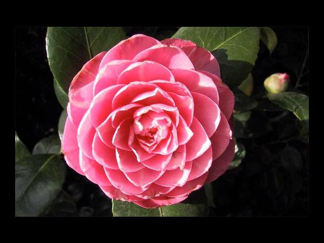 <b>Camellia means Gratitude </b><br> Thank her for being in your life with these flowers. They are ideal for a long-term relationship or one that looks to be long-lasting.