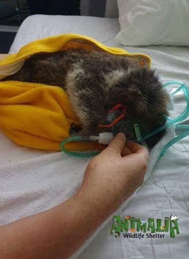 Animalia Wildlife Shelter is urging people to know the proper way to give koalas water. Source: Supplied/Animalia Wildlife Shelter
