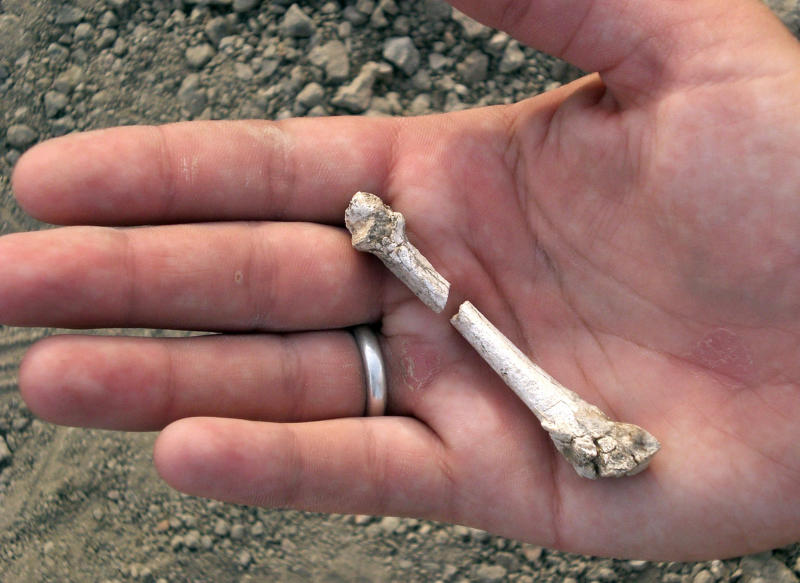 This image provided by the Cleveland Museum of Natural History shows a bone fragment from a 3.4-million-year-old partial foot recovered during an excavation in Ethiopia. A new study determined that the foot belonged to a human relative that lived around the same time as Lucy, the famous early hominid. (AP Photo/Celeveland Museum of Natural History, Yohannes Haile-Selassie)