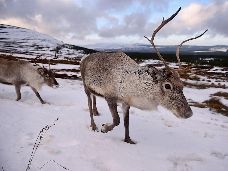 Around 2,000 reindeer are estimated to live in Nordfjella, where the diseased reindeer were found (file image): GettY