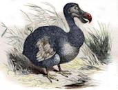 """<p>The Dodo was a flightless bird native to Mauritius whose population began dwindling and eventually became extinct over the short course of a century when sailors began arriving on the East African island nation.</p><p>The last of the Dodos were seen in the 1660s and because there really wasn't an emphasis on specimen preservation, many of the remaining fossils were lost or destroyed. </p><p>Even though the Dodo went extinct more than 150 years ago, their story is important. People didn't believe that God would take away a creature's existence after having gone through the trouble of creating them, so no one was truly alarmed at their disappearance. This led people to believe that there were more Dodos tucked away somewhere in nature and so, specimens weren't handled as carefully as they should have been.In fact, <a href=""""http://www.bbc.com/earth/story/20160408-how-humanity-first-killed-the-dodo-then-lost-it-as-well"""" rel=""""nofollow noopener"""" target=""""_blank"""" data-ylk=""""slk:Dodo specimen damage and loss was common in the 17th and 18th centuries"""" class=""""link rapid-noclick-resp"""">Dodo specimen damage and loss was common in the 17th and 18th centuries</a>.</p><p><strong>Cause of Extinction:</strong> popular belief has sailors hunting and eating the Dodo to the point of extinction, but it's more likely that the rats (and other animals) the sailors brought with them caused the Dodo's decline. The <a href=""""http://www.bbc.com/earth/story/20160408-how-humanity-first-killed-the-dodo-then-lost-it-as-well"""" rel=""""nofollow noopener"""" target=""""_blank"""" data-ylk=""""slk:BBC reports that rats likely ate Dodo eggs"""" class=""""link rapid-noclick-resp"""">BBC reports that rats likely ate Dodo eggs</a> and other animals outcompeted the bird for food sources.</p>"""