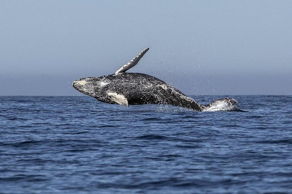 """The 89-nation member International Whaling Commission has passed the non-binding """"Florianopolis Declaration"""" - an agreement that whaling is no longer a necessary economic activity (AFP Photo/FERNANDO CASTILLO)"""