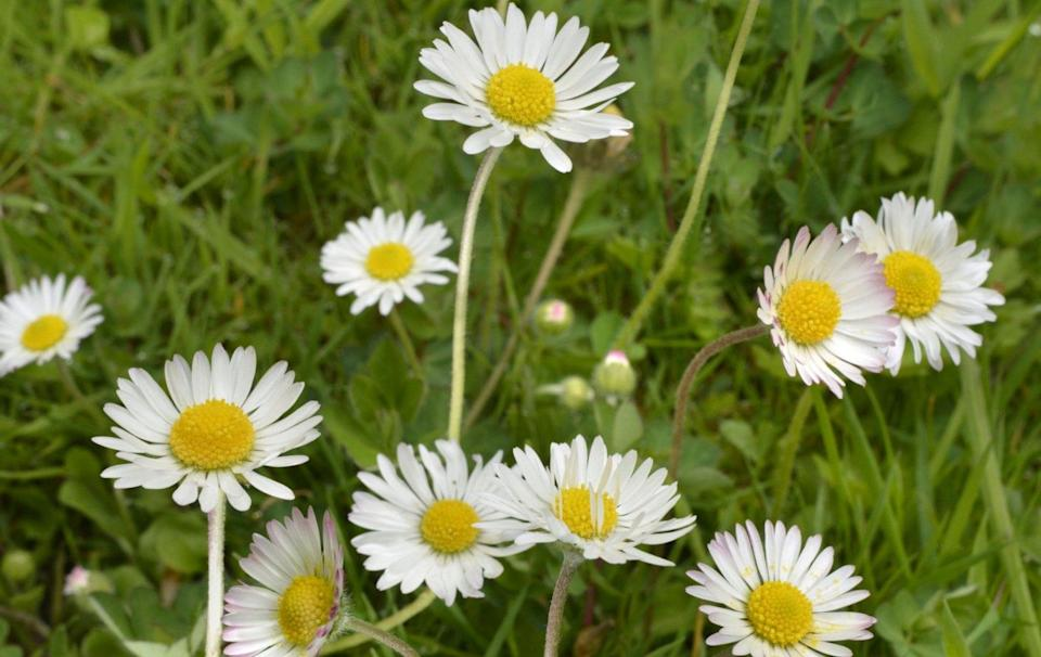 Bellis perennis (Common daisy, lawn daisy) - Alamy Images