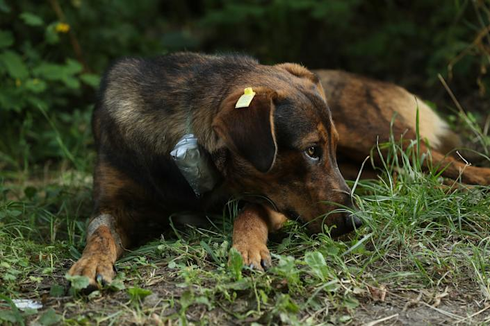 A stray dog tagged and wearing a collar equipped with a GPS sensor and radiation sensor lies in the grass outside a makeshift veterinary clinic near the Chernobyl nuclear power plant on August 19, 2017.
