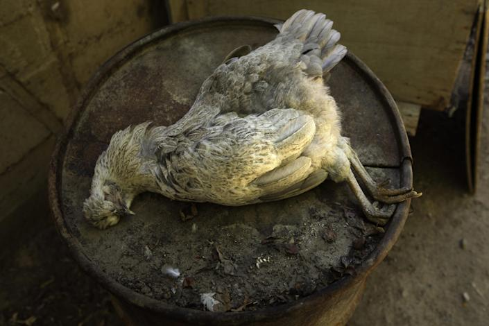 In this May 23, 2014 photo, a chicken carcass lies on top of a tank found by grape grower Pascual Abalos Godoy on his morning rounds, who believes the chicken died from drinking contaminated water, in El Corral, near the facilities of Barrick Gold Corp's Pascua-Lama project in northern Chile. The residents living in the foothills of the Andes, where for as long as anyone can remember, have drunk straight from the glacier-fed river that irrigates their orchards and vineyards with clean water. Since the Barrick gold mine project moved in, residents claim the river levels have dropped, the water is murky in places and complain of health problems including cancerous growths and aching stomachs. (AP Photo/Jorge Saenz)
