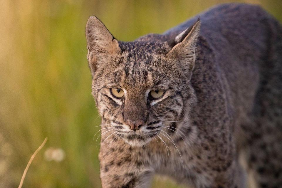 <p>Compared to other animals, bobcats are not as scary as you might think. They are small in the big cat family, appearing much larger and stronger than they actually are, but that doesn't mean they can't hurt you. They will scare off, but if you get near their kittens, they will get aggressive.</p><p>That's what makes this one simple. If you find yourself near bobcat kittens, move away slowly while facing the animal, Kuykendall says.</p>