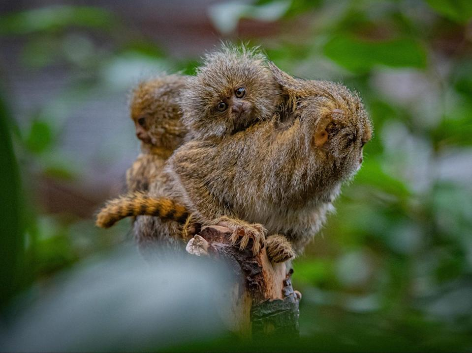 <p>Eastern pygmy marmosets are one of the world's smallest species of monkey</p> (Chester Zoo)