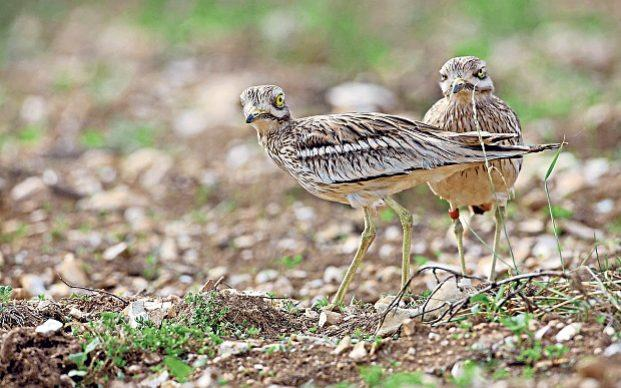 The curlew is a threatened species