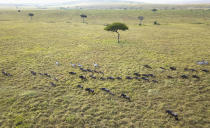 The annual migration of wildebeest from the Serengeti National park in Tanzania to the Maasai Mara national reserve in Kenya is seen from a drone in the Maasai Mara Wednesday, July 22, 2020. Travel restrictions kept tourists away for the annual Great Wildebeest Migration in Kenya's Maasai Mara National Reserve and only a handful of guides and park wardens were there to watch thousands of wildebeest make their famous trek in search of new grazing pastures.(AP Photo/Joe Mwihia)
