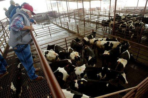 File picture shows buyers inspecting cattle at a US auction in California. The United States scrambled on Wednesday to contain the fallout from the discovery of mad cow disease in California as the top beef exporter insisted the outbreak posed no threat to consumers
