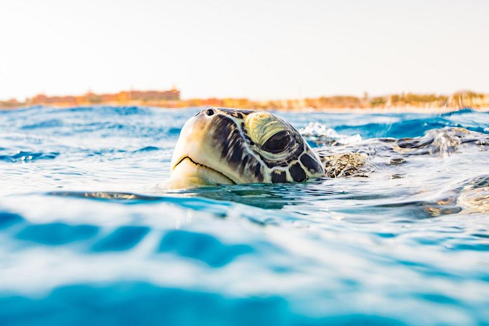 "<p>A <a href=""https://www.aithm.jcu.edu.au/world-first-jcu-turtle-health-facility-is-making-waves/?fbclid=IwAR2rt5ZqHzjGWff8zsyIJKRg05KPYdYIquzffDUH3k66a0t8Dho_4-qrgTk#.XVx_A-KP7rQ.facebook"" rel=""nofollow noopener"" target=""_blank"" data-ylk=""slk:study"" class=""link rapid-noclick-resp"">study</a> from the James Cook University's Turtle Health Research facility found ""Turtles have color vision. (Their favorite color – not surprisingly – is blue.) They also have good memories. Trials have shown that turtles which have mastered a trick to obtain a food reward, at a young age, will immediately remember how to achieve the same result, when the puzzle is re-introduced to them eight months later. There is also evidence that turtles have individual personalities.""</p><p>""I didn't think that reptiles had personalities, but they do,"" observed Professor Ariel from the research facility. ""Some turtles are shy and will avoid a new device in the tank, whereas others are bold and will swim up to nudge or bite it. They have vastly different behavioral traits.""</p>"