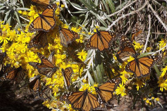 Migrant monarch butterflies tanking up on nectar as they move south.