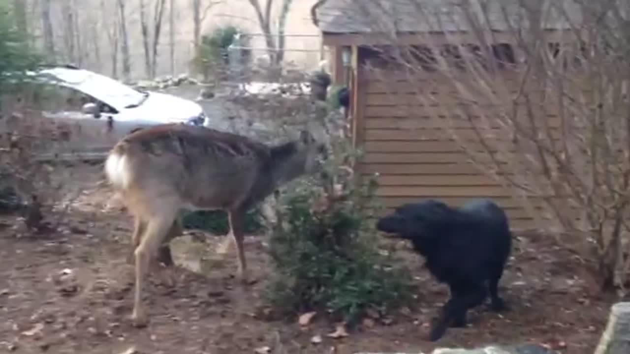 """There is nothing sweeter to see in this beautiful world than unlikely animals friendships. Take this deer and this black labrador for example! Animals don't have boundaries when it comes to making new friends. Their hearts are pure and opened up for everyone. This video proves that the theory is for real. As one of the most popular breeds in America, Canada, and the United Kingdom, Labradors are very intelligent and loyal. They can be trained to be guides for blind people, help people with autism, act like therapy dogs and even help the law enforcement in investigations.nThis owner's cute black Labrador meets a special friend in the woods. He is all happy, sniffing and jumping around him. I'm not so sure if the Labrador knows that his new pal is a deer or he thinks that he is just a strange looking dog. Deers are also super friendly animals and this one in the video does not seem to mind the company of the Labrador and the other dog that joins the circle."""