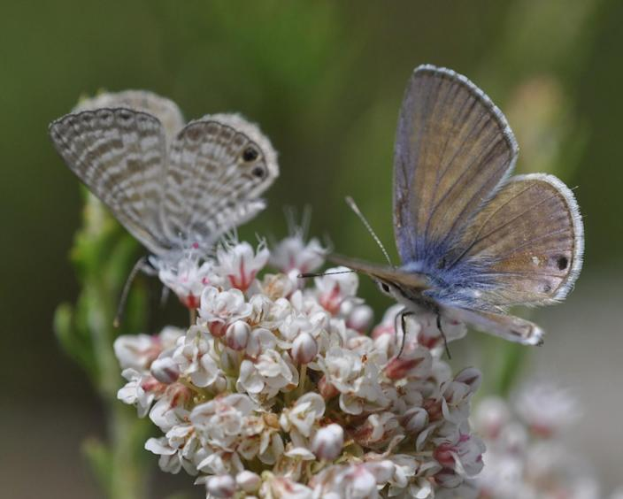 Marine blue butterflies sip nectar on the flowers of a California buckwheat.