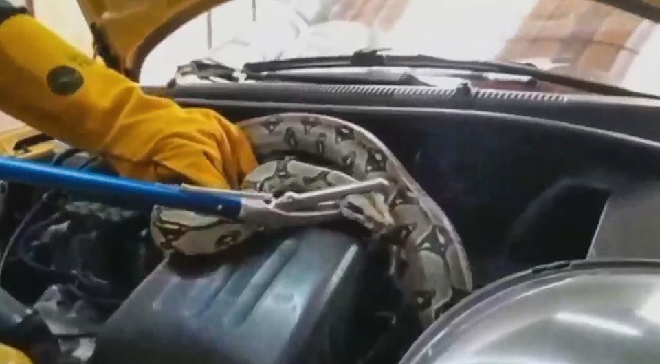 A boa constrictor was removed by police from the engine of a taxi. Source: Newsflash/Australscope