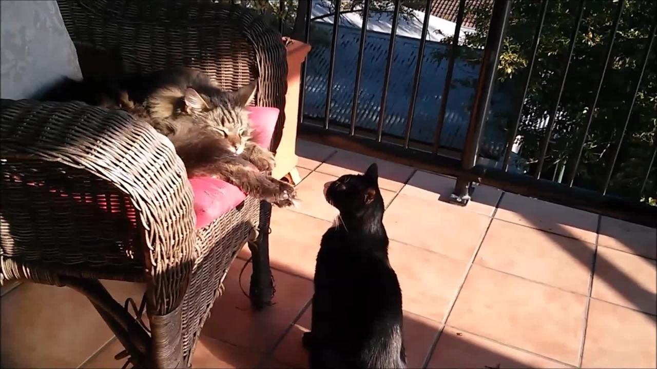 """We've all known that one person that really likes to get on your nerves and bug you. It seems to be no different withing the animal kingdom. In this video, one of the cats was sleeping peacefully on the chair without a care in world, when all of a sudden, the cat on the ground attacks and wakes the sleeping cat up. This hilarious moment was capture perfectly, making us all laugh as we can relate to this all to well. Cats will be cats!  This hilarious video is not something that any pet owner should miss! You'll be laughing out loud when you see the sleeping cat get startled when it wakes up! It is amazing how animals such as cats can carry on such human characteristics, such as being annoying or playful with other animals.   For all we know, the cat maybe just needed something to play with and got bored. The owners should get some <a target=""""_blank"""" href=""""https://www.amazon.com/Best-Sellers-Pet-Supplies-Cat-Toys/zgbs/pet-supplies/2975303011?&_encoding=UTF8&tag=rumble07-20&linkCode=ur2&linkId=0a9b7501cf08da845bf8de19c9254a2f&camp=1789&creative=9325"""">cat toys on Amazon</a> to keep their feline friends occupied!  Cats can be such funny animals to be captured on video, do you have any funny cat moments you would like to share? Let us know in the comment section below!"""