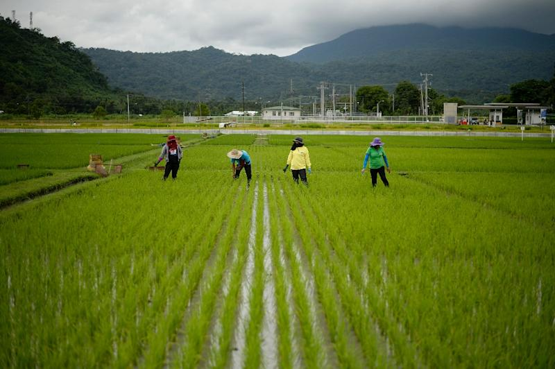 Farmers work in a rice field near the International Rice Research Institute in Laguna, Philippines (AFP Photo/Noel Celis)
