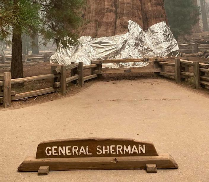 Firefighters use aluminum wrap to protect enormous tree from wildfires