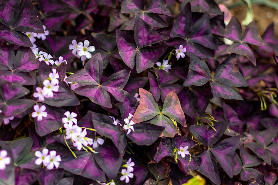"""<p>Also known as the """"purple shamrock"""" or """"false shamrock,"""" oxalis triangularis is a colorful hanging plant that can be grown indoors or outdoors. It's known for leaves that open up during the day and close at night. Be careful where you place it as this plant can be toxic to cats and dogs.</p><p><strong>Zones: 8-11</strong></p>"""