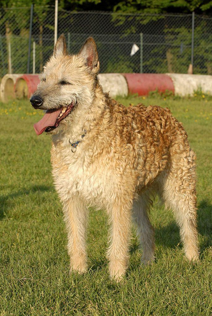 <p>This loyal working dog breed is identifiable by their rough, tousled coat. They're know for being protective of their people and property.</p>