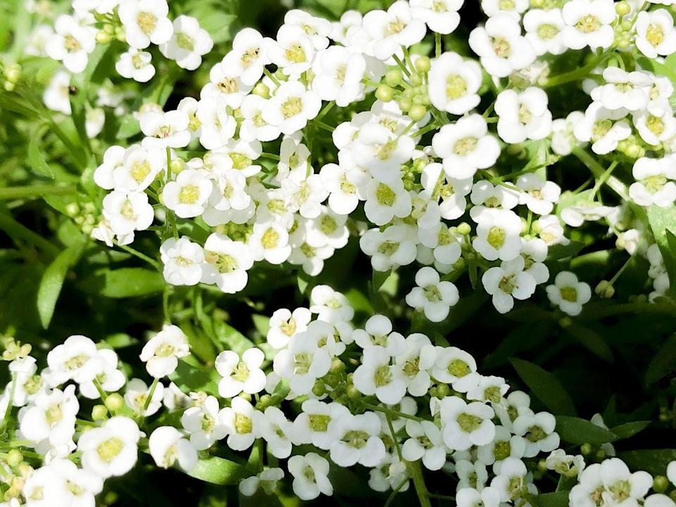 <p>Also called spring alyssum, these perennial beauties grow best in USDA Hardiness Zones 5-9 and bloom in both the spring and fall.</p>