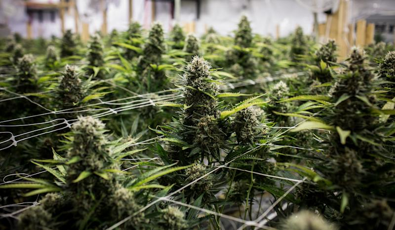 Mexico's Government Should Sell Marijuana, Key Lawmaker Proposes