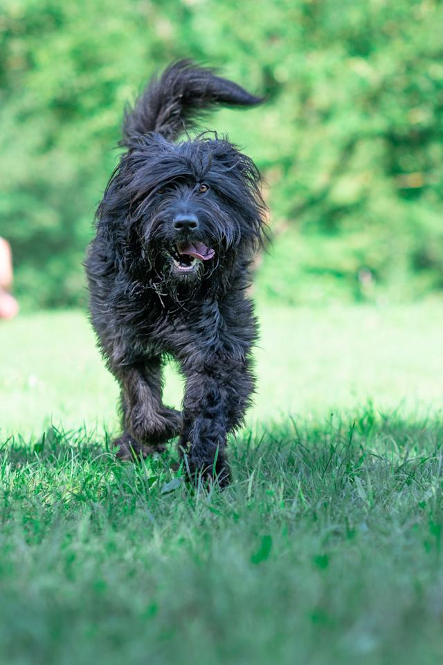 """<p>A Bergamasco dog's coat is actually made up of three different types of hair, which gives it a matted appearance. They're pretty low maintenance and <a rel=""""nofollow"""" href=""""https://www.goodhousekeeping.com/life/pets/g5138/best-family-dogs/"""">enjoy being around kids</a>, so they're a great pick for busy families. </p>"""
